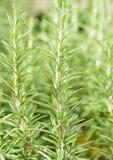 Fresh Rosemary Herb Stock Photo