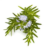 Fresh rosemary herb. Rosemary with flowers isolated on white stock image