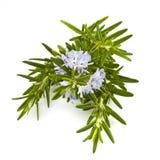 Fresh rosemary herb Stock Image