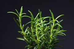 Fresh Rosemary Herb. On black background royalty free stock photo
