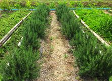 Fresh rosemary herb farming on soil in the garden royalty free stock photography