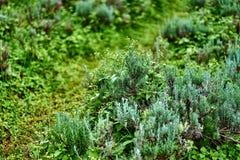 Fresh Rosemary Herb Stock Photos