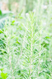 Fresh Rosemary Herb Royalty Free Stock Photos