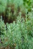 Fresh Rosemary Herb Stock Images