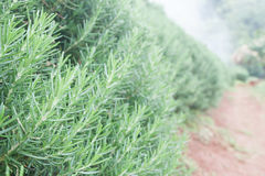 Fresh Rosemary Herb grow outdoor. Fresh Organic flavoring plants Stock Photos