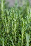 Fresh Rosemary Herb grow outdoor. Royalty Free Stock Images