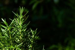 Fresh Rosemary Herb grow outdoor. Rosemary leaves Close-up. Agronomy aromatic background botanical branch bunch bush closeup condiment cook cooking cuisine stock photos
