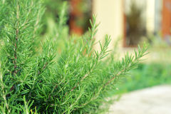 Fresh Rosemary Herb Royalty Free Stock Images