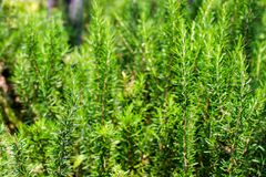 Fresh Rosemary Herb grow outdoor. Rosemary leaves Close-up.  Stock Image