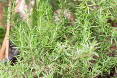 Fresh rosemary herb growing Royalty Free Stock Photo