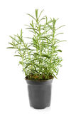 Fresh rosemary herb in pot Royalty Free Stock Image