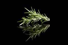 Fresh rosemary herbs. royalty free stock photography