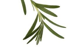 Fresh Rosemary Leaves Stock Image