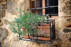Fresh rosemary planted in the pot Royalty Free Stock Image