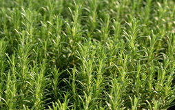 Fresh rosemary plants Royalty Free Stock Images