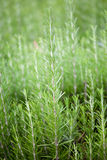 Fresh rosemary (Rosmarinus Officinalis) Stock Photos