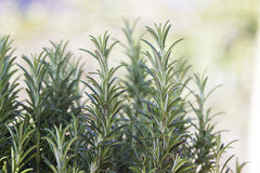 Fresh rosemary (rosmarinus officinalis) Royalty Free Stock Photography