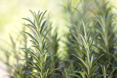 Fresh rosemary (rosmarinus officinalis) Royalty Free Stock Image