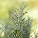 Fresh rosemary (rosmarinus officinalis) Royalty Free Stock Image