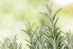 Fresh rosemary (rosmarinus officinalis) Royalty Free Stock Photography