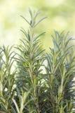 Fresh rosemary (rosmarinus officinalis) Stock Photography