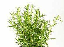 Fresh rosemary sprigs Stock Images