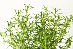 Fresh rosemary sprigs Royalty Free Stock Photography