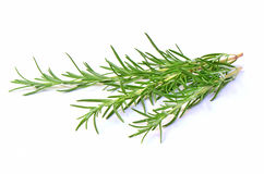 Fresh rosemary sprigs. Fresh sprigs of aromatic rosemary herb on white background with room for tetxt Royalty Free Stock Photo