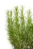 Fresh rosemay in closeup Stock Image