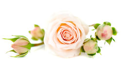 Fresh roses Royalty Free Stock Photo