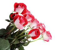 Fresh roses Royalty Free Stock Image