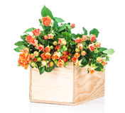 Fresh roses in the box Royalty Free Stock Photos