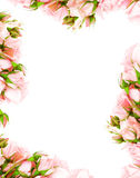 Fresh roses frame. Fresh pink roses frame border isolated on white background Stock Images