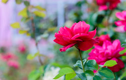 Fresh roses in natural background in garden. Stock Image