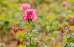 Fresh roses in natural background in garden. Stock Photos
