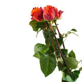 Fresh roses over the white isolated background Stock Image