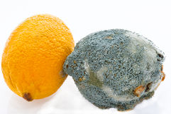Fresh and  rotting lemons touching each other. Fresh and mouldy lemons with penicillium species of mould growing on it causing it to decay. A dramatic fungal Royalty Free Stock Photography