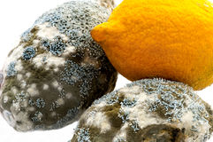 Fresh and  rotting lemons touching each other. Fresh and mouldy lemons with penicillium species of mould growing on it causing it to decay. A dramatic fungal Royalty Free Stock Photo
