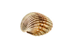 Fresh rough cockle clam Acanthocardia tuberculata shell isolat. Ed. Saltwater mussel is often used as culinary speciality with sea food. Isolated on white Stock Photos
