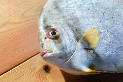 Fresh Round Batfish from fishery market. In outdoor sunlight and space for text Royalty Free Stock Images
