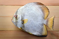 Fresh Round Batfish from fishery market. In outdoor sunlight and space for text Stock Images