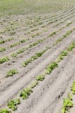 Fresh Rows Of Bean Crops Outside In Midwest, United States Stock Photo