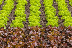 Fresh rows of green and red lettuce on a farm field. Fresh rows of green and red lettuce vegetables on a farm field Royalty Free Stock Photo