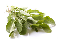 Fresh rucola Royalty Free Stock Image