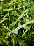 Fresh rucola Stock Image