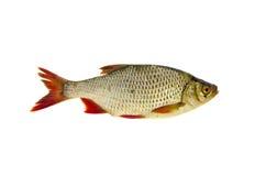 Fresh rudd (Scardinius erythrophthalmus) fish isolated on white Stock Photo