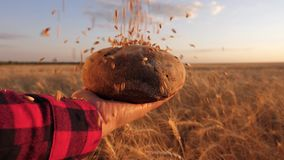 Fresh rye bread over ripe ears with grain. wheat grains fall on bread in the hands of girl, over a field of wheat. ripe stock video footage