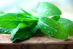 Fresh Sage Stock Photos