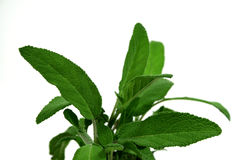 Fresh Sage Royalty Free Stock Photo