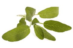 Fresh sage. Isolated on the white background. herbs and spices stock photography